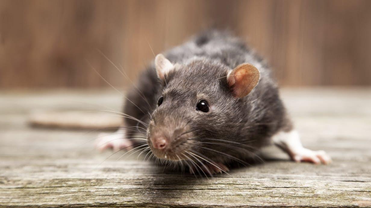 rat-birth-control-1.jpg