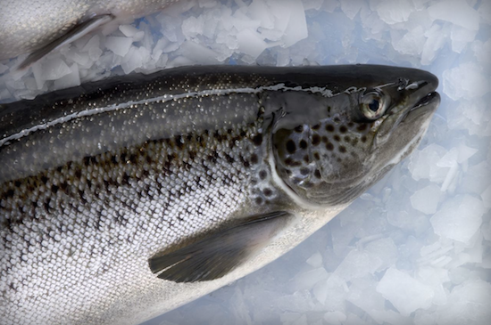 Fda names salmon the first genetically modified animal for Names of fish to eat